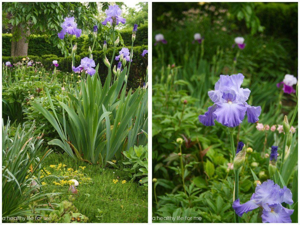 Gardening Iris Spring Flower Rhizome