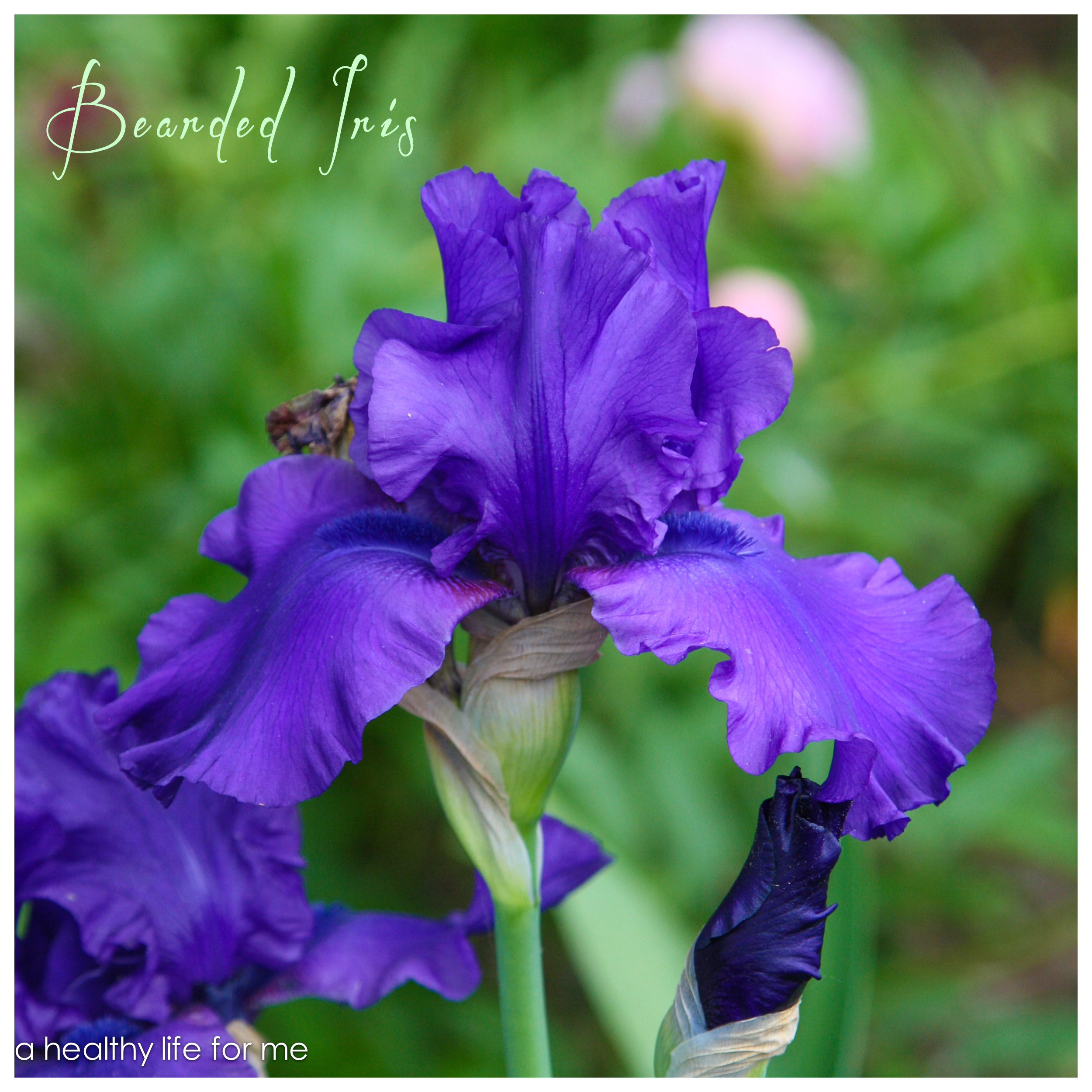 Tall bearded iris in amy staffords gardena at www ahealthylifeforme